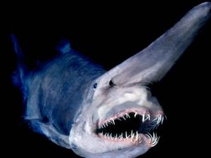 Най-грозната риба на света плаши с отвратителното си лице ВИДЕО