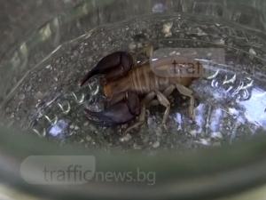 Скорпиони в Пловдив колко щеш, но са безопасни ВИДЕО