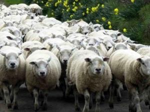 24-годишен шофьор се заби с кола в стадо овце край Пазарджик, уби 40
