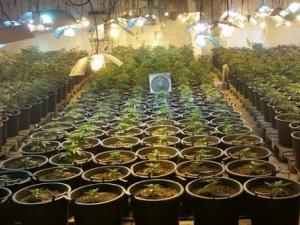 Вкараха в ареста наркопроизводител, отглеждал 79 растения марихуана край Пловдив