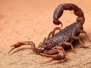 Отмениха полет заради нежелан пътник... скорпион