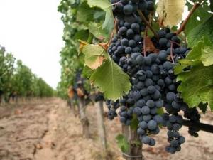 Пловдивчанин отмъкна 100 килограма грозде в Първенец