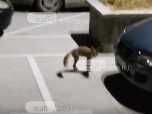 Лисиците в Пловдив станаха повече от котките! Този път заснеха животното в Кючука ВИДЕО