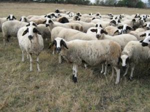 Овчар е със съмнения за зараза с антракс, вкараха го в изолация