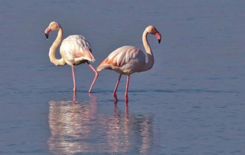 Странно нашествие: Розово фламинго превзе Родопите СНИМКИ