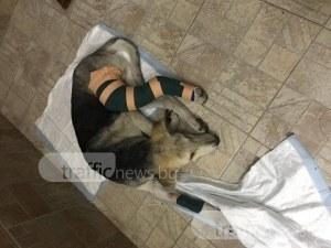 Кученцето, блъснато от кола и спасено от студентка, ще живее! Благодарение на вас