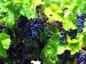 Държавата дава 43,5 милиона за... грозде