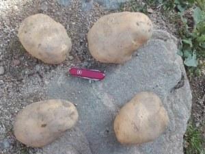 Бивш военен отгледа картоф гигант в Смолянско