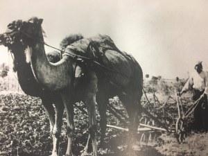 Преди век в Пловдивско орали с ...камили