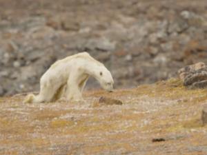 Покъртително: Умираща от глад бяла мечка разплака хиляди ВИДЕО
