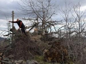 Силният вятър повали 300-годишен дъб