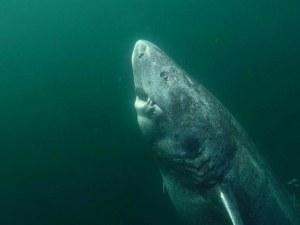 Откриха най-възрастната жива акула на света СНИМКИ