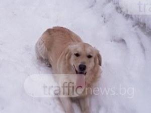 Голдън ретривър се изгуби около Пловдив! Стопаните молят за помощ СНИМКИ