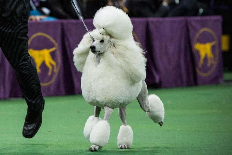Стартира най-престижното изложение на кучета
