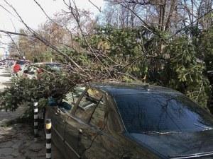 Силният вятър изкорени дърво, стовари се върху автомобил СНИМКИ