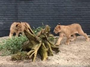 Как живеят лъвчетата Терез и Масуд в новия си дом?