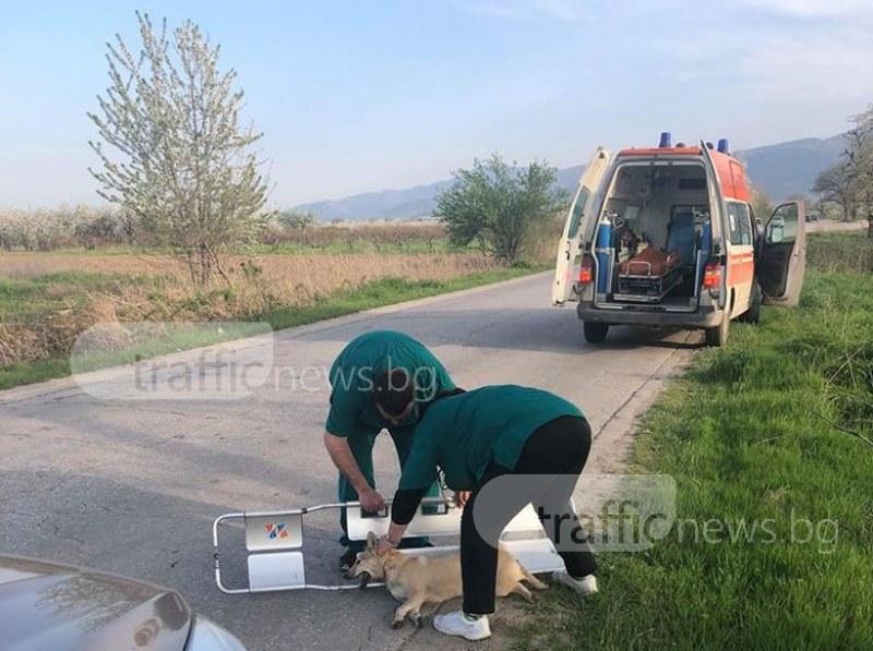 Линейка спря на пътя Пловдив - Брестник, за да спаси блъснато куче СНИМКИ