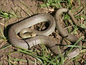 Змия ухапа медицинска сестра, спряха влака за София, за да я спасят