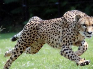 Туристи рискуваха да бъдат разкъсани от гепарди заради една снимка