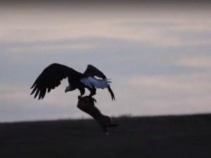 Драматичен бой между лисица и орел заради заек! Зрелищно ВИДЕО