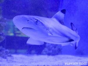 Рифова акула свиква с Пловдив СНИМКИ