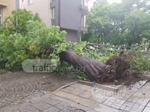 Бурята в Пловдив изтръгна от корен огромно дърво! Стовари се върху къща! СНИМКИ+ВИДЕО