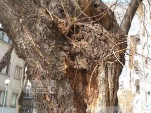 Кое е следващото дърво, което ще се сгромоляса в Пловдив? Изберете си! СНИМКИ