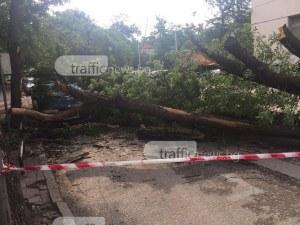 Огромно дърво потроши кола в Пловдив, по чудо няма пострадали СНИМКИ
