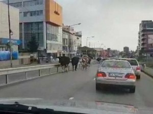 Група от седем крави тръгнаха редом с колите на оживен булевард