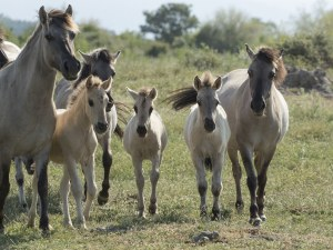 Шестнадесет кончета от редкия вид коник се родиха в Източните Родопи СНИМКИ