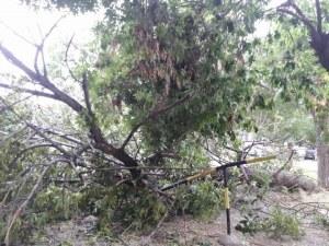 Бурята събори огромно дърво в Кючука СНИМКИ