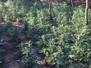 Откриха най-голямата нелегална плантация за канабис в Гърция