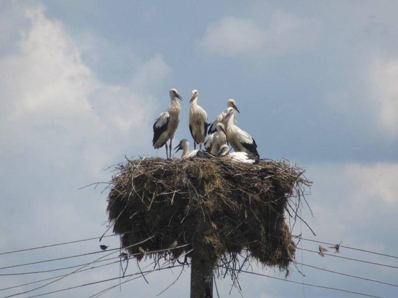 Истински рекорд за България! Седем щъркела живеят в гнездо СНИМКИ
