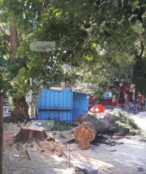 Режат дървета заради ремонтите в центъра на Пловдив СНИМКИ