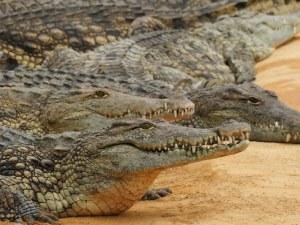 Умъртвиха с чукове и тояги близо 300 крокодила в Индонезия