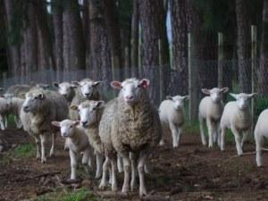 Нелегално транспортирано животно е вероятният преносител на чумата у нас