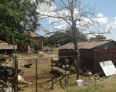 Изплатиха първите помощи по de minimis на засегнатите от чумата животновъди