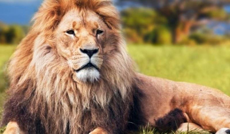 Тревога в Африка! Лъвовете изчезват с главоломна скорост