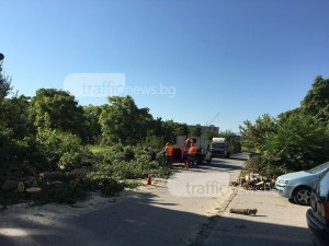 Шофирайте внимателно - кастрят дървета в Тракия СНИМКИ