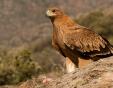Мъж заложи отровна примамка на царски орел, арестуваха го