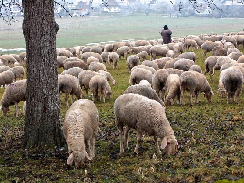 Откриха бруцелоза по овцете в Кюстендилско, болестта е опасна и за хората