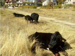 Пожарникари спасиха стадо крави и телета паднали във воден капан СНИМКИ+ВИДЕО
