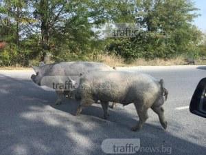 Движението на Пазарджишко шосе е затруднено! Прасета изскачат на платното СНИМКИ