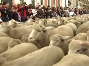 Над 1500 овце задръстиха Мадрид ВИДЕО