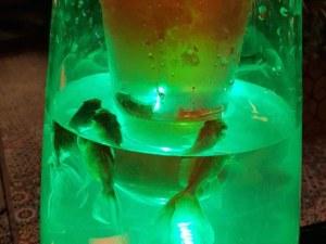 Абсурдно: Риби плуват в наргиле в нощен клуб СНИМКИ