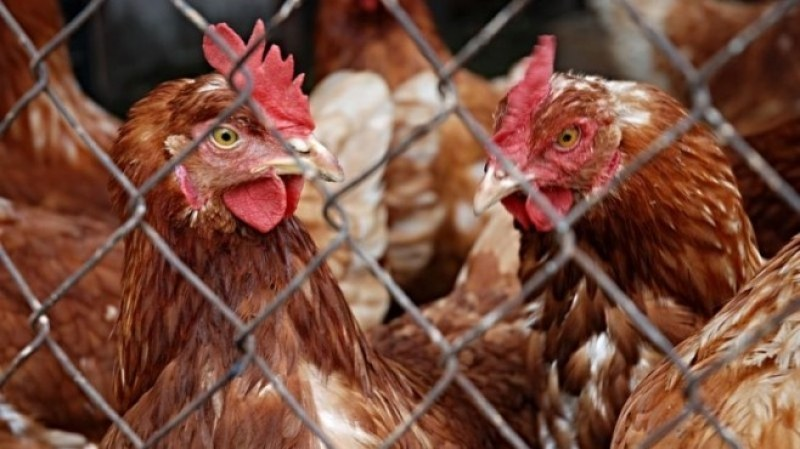 Отглеждането на домашни животни за лична консумация няма да се криминализира, успокоиха от БАБХ