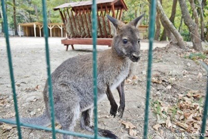 Заловиха избягалото кенгуруто Кики, похапвало марули в оранжерия