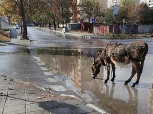 Магаре се разходи по улиците в Асеновград СНИМКИ