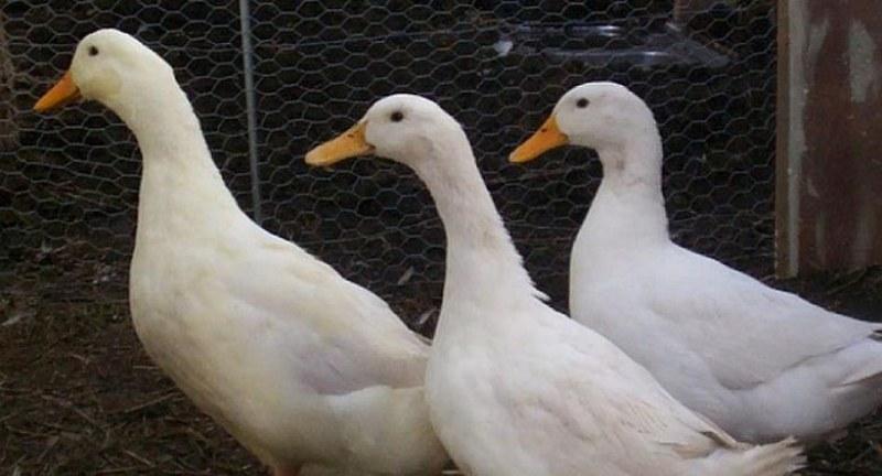 Откриха птичи грип край Брезово