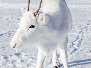 Фотограф среща случайно рядък бял елен в Северна Норвегия: Беше приказно